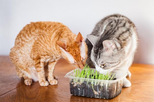 Dos gatos comen hierba brotada para ellos, la anfitriona brotó hierba para gatos.