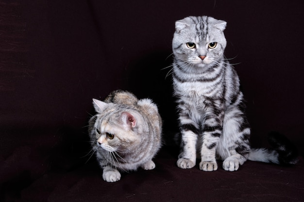 Dos gatos, escocés doblan mármol sobre plata, escocés recto, retrato sobre un fondo oscuro.