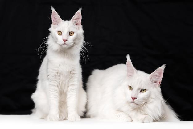 Dos gatos maine coon sobre fondo blanco y negro