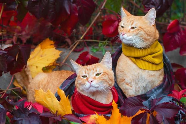 Dos gatos rojos gemelos idénticos en una bufanda, en los rayos del sol sobre un fondo de hojas rojas. al aire libre y al aire libre.