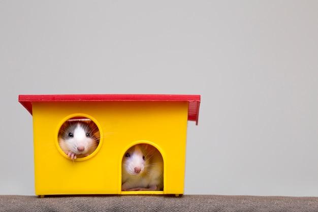 Dos graciosos ratones blancos y grises doman a los hámsters con ojos brillantes que miran desde la ventana de la jaula de color amarillo brillante. mantener amigos mascotas en casa, cuidar y amar al concepto de animales.