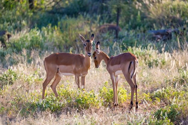 Dos impalas están juntos en el paisaje de hierba