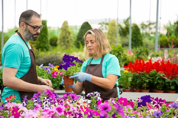 Dos jardineros en delantales cultivando petunias en invernadero. trabajadores profesionales del jardín serios cuidando bonitas flores. mujer rubia sosteniendo una olla en invernadero. actividad de jardinería y concepto de verano.