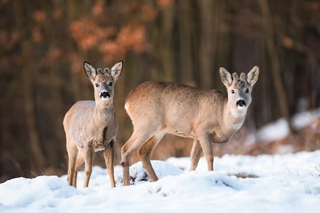 Dos jóvenes corzos, capreolus capreolus, de pie en el campo en invierno