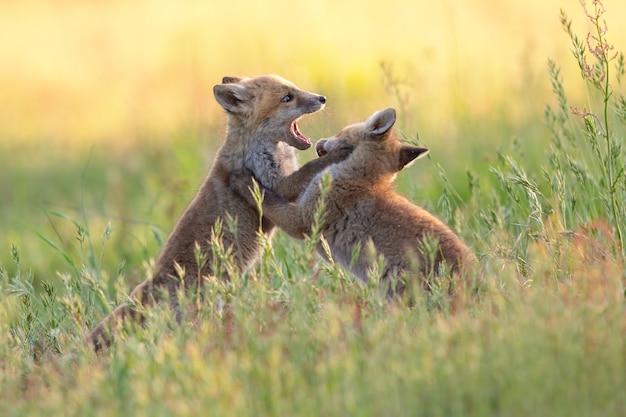 Dos jóvenes zorros jugando en un campo verde