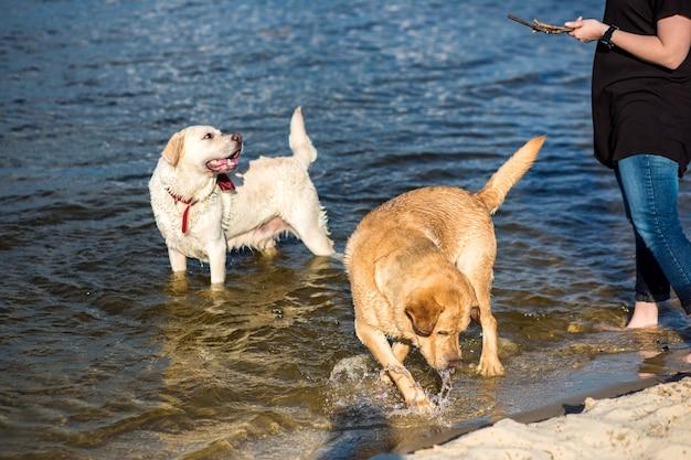 Dos labradores en la playa. dos perros felices juegan en la orilla del río.