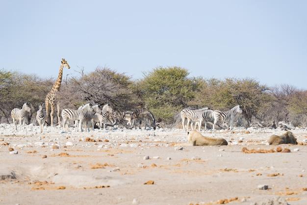 Dos leones tumbados en el suelo. cebra y jirafa caminando imperturbables en el fondo