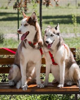 Dos lindos perros husky en un banco en el parque