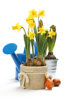 Dos macetas con flores jóvenes de primavera y regadera azul sobre blanco con espacio de copia