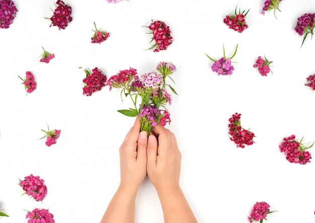 Dos manos y brotes femeninos de un clavel turco floreciente