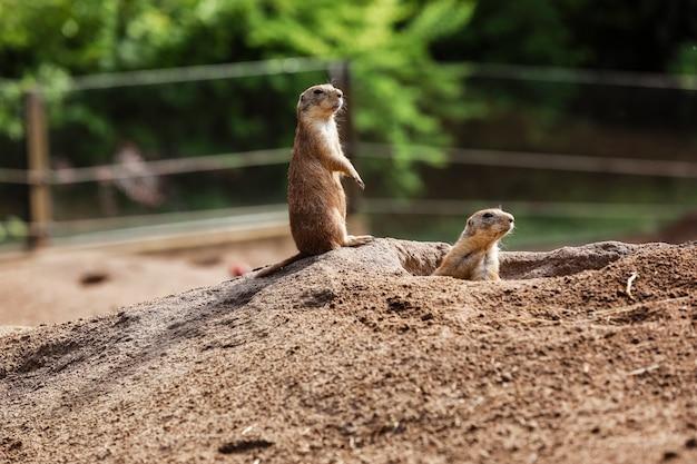 Dos marmota. lindo gopher salvaje de pie en la hierba verde