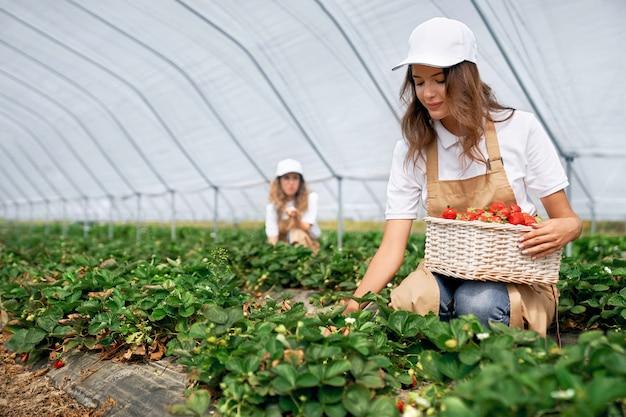 Dos mujeres están cosechando fresas