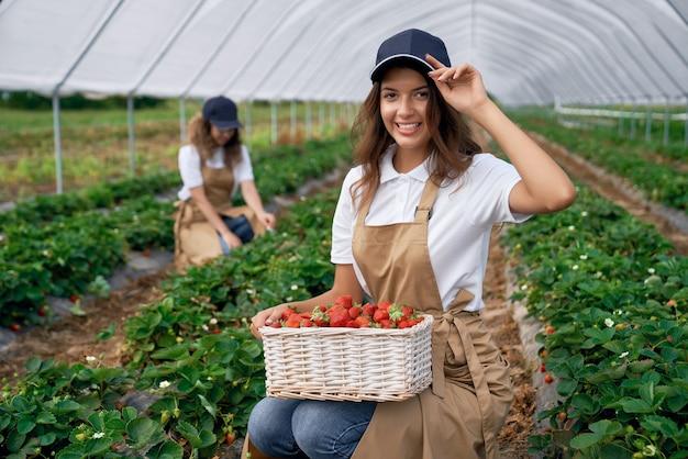 Dos mujeres están recogiendo fresas en invernadero