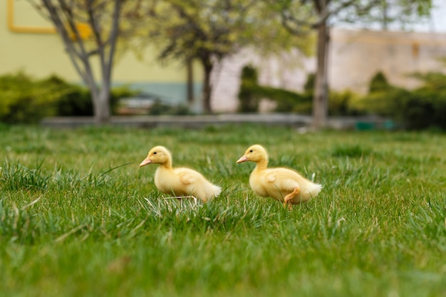 Dos pequeño patito amarillo sobre la hierba verde.
