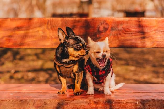 Dos perritos chihuahua en un banco. lindas mascotas domésticas al aire libre. dos perros chihuahua en un banco en ropa.