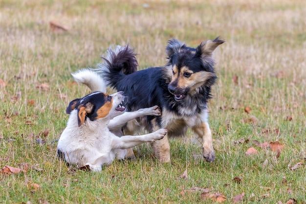Dos perritos juegan en la hierba en el otoño