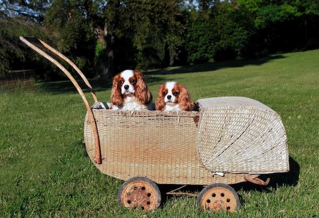 Dos perros cavalier king charles en cochecito de mimbre