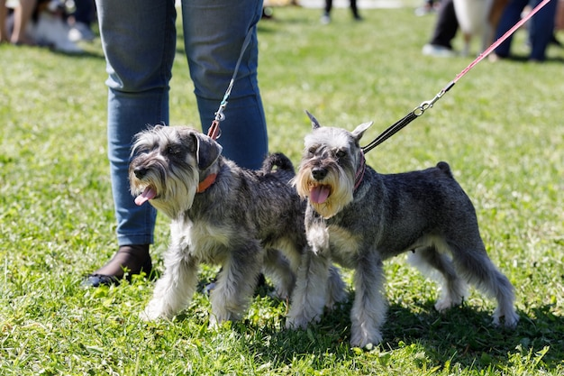 Dos perros crían tswerksnauzer en el parque en verano. foto de alta calidad