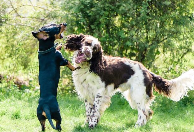 Dos perros divertidos jugando duro en la naturaleza de verano