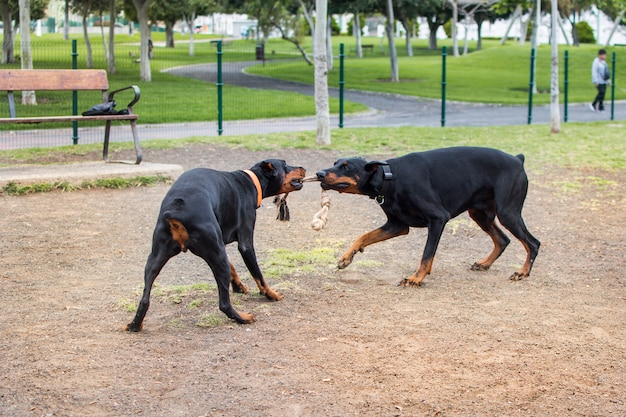 Dos perros doberman jugando en el parque de animales con una soga que ambos muerden con sus hocicos.