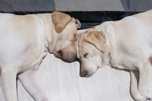 Dos perros dormidos tumbados en el suelo relajados y tranquilos después de comer en casa.