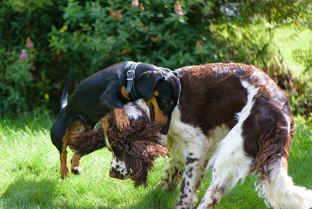 Dos perros jóvenes divertidos jugando en la naturaleza verde del verano