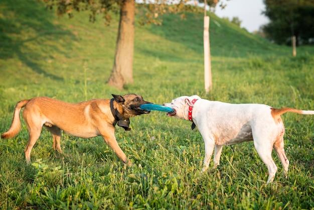 Dos perros jugando con disco volador en el parque.