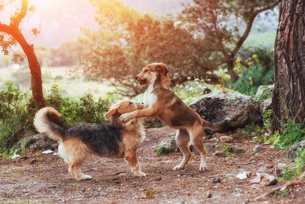 Dos perros peleando entre sí cárpatos ucrania europa