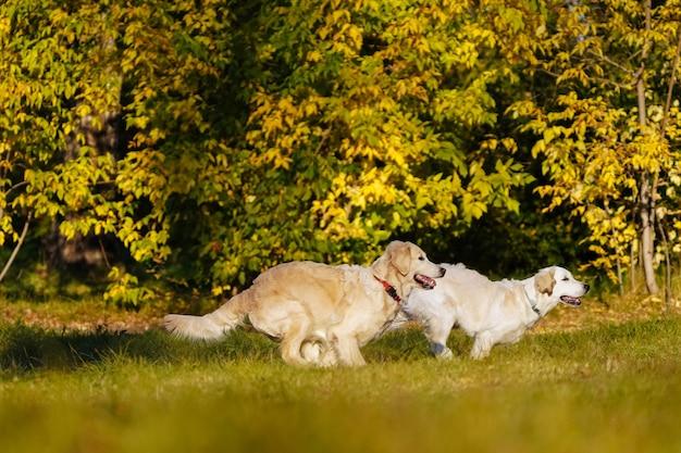 Dos perros perdigueros de oro divirtiéndose corriendo juntos en el parque de otoño