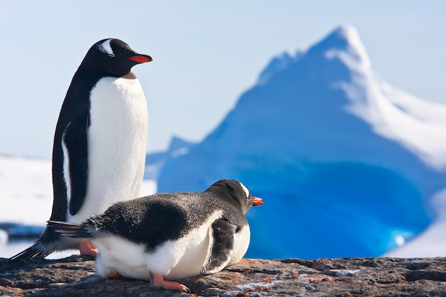 Dos pingüinos