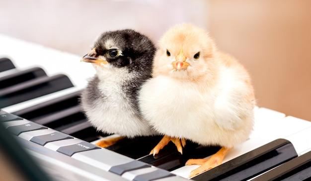 Dos pollitos en las teclas del piano.