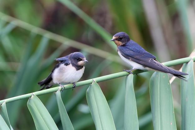Dos polluelos de una golondrina común se sienta en la caña
