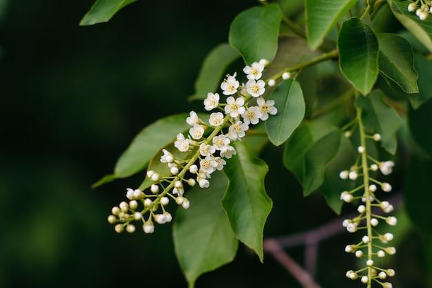 Dos ramas de un primer floreciente del pájaro de la cereza en un fondo oscuro. prunus padus