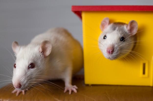 Dos ratas domésticas divertidas y una casa de juguetes