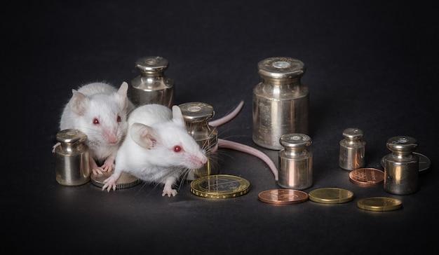 Dos ratones blancos del laboratorio con los pesos y las monedas en un fondo gris. concepto de economia