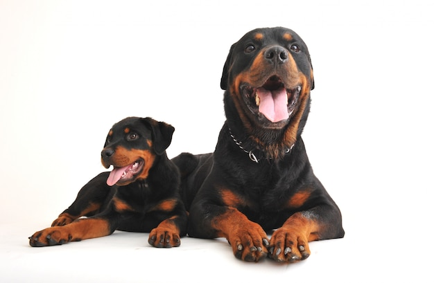 Dos rottweilers