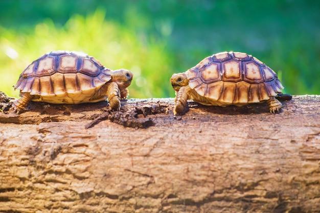 Dos tortugas de sukata en el bosque