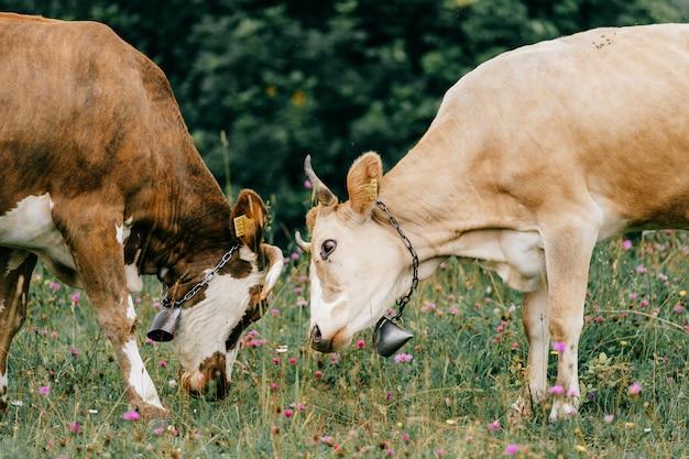 Dos vacas manchadas divertidas golpeando cabezas en el pasto con flores
