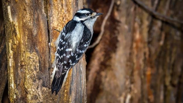 Downey woodpecker en una rama de árbol