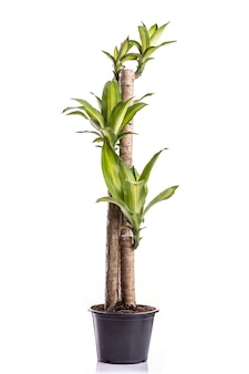 Dracaena tree o dracaena fragrans en maceta de plástico negro
