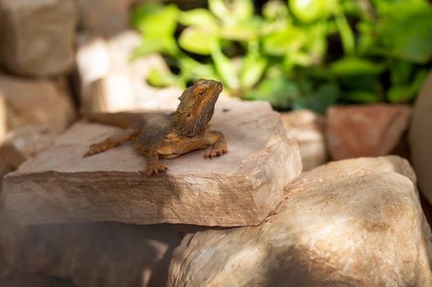 Dragón barbudo sentado en piedra rojiza mirando