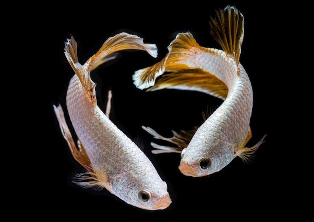 Dragón plateado betta pez luchador siamés.