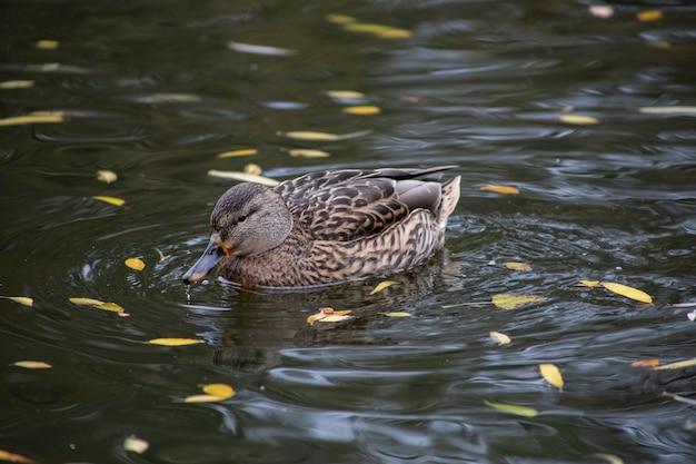 Drake patos púas en el lago