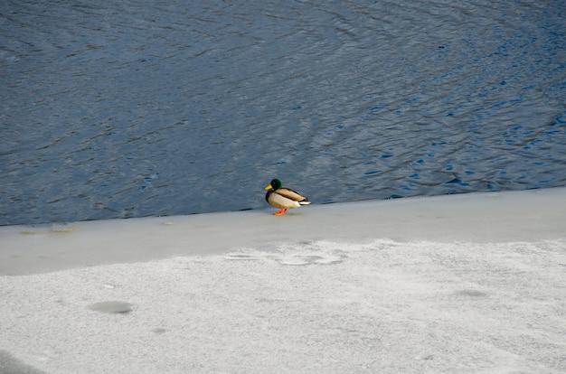 Drake se sienta sobre hielo en el río