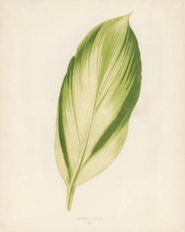 Drinaena recina grabado por benjamin fawcett