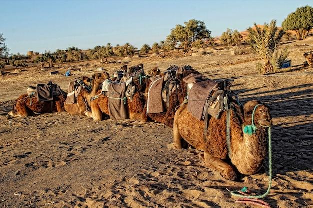 Los dromedarios del desierto de merzouga. marruecos