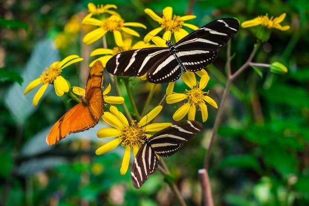 Dryas iulia y heliconius charithonia mariposas