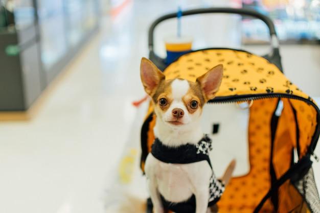 El dueño del perro asiático y el perro en la exposición de mascotas