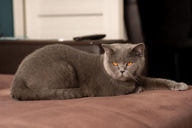 Dult british shorthair cat mentiras aislado en un blanco