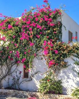 El edificio viejo blanco entrelazó la buganvilla púrpura de las flores en santorini, grecia.